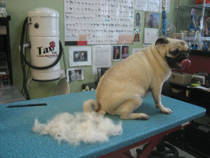 All this hair is from this pug in one session, Wow!!!