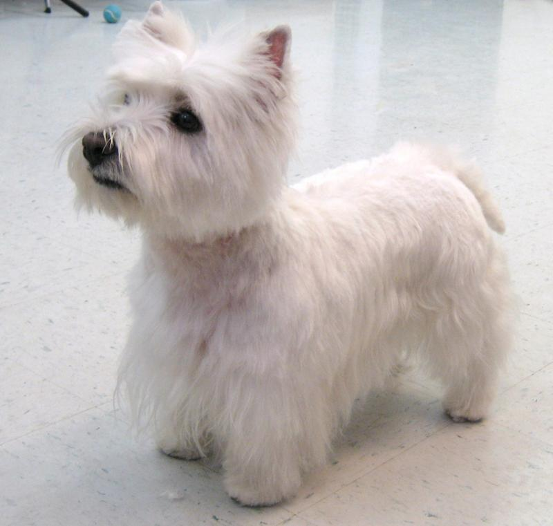 haircut styles for a west highland white terrier dog